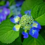 『【写真】 a7R  堀切菖蒲園へ。梅雨の花 1』の画像