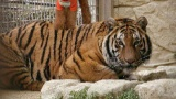 トラとかライオンを超可愛がって育てても、やっぱ食われるんだろうか
