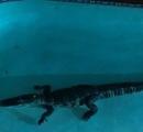 朝起きたら、自宅の庭のプールに体長2メートル超のワニがいた。米フロリダ州