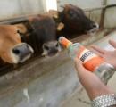【画像】牛にアレを飲ませると発育が驚異的に速くなるらしい