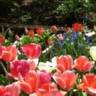 『秋に植えるチューリップの開花を調節して花を長く楽しむ』の画像
