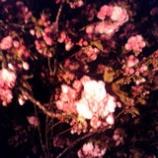 『今年一の夜桜』の画像