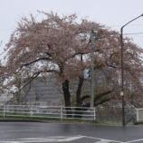 『我が家の桜09-10』の画像