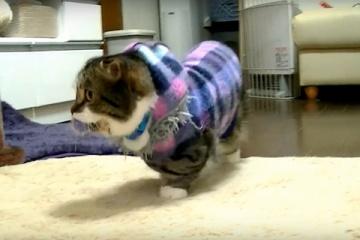 子猫マンチカンがけなげに何度もおもちゃをとってくる動画
