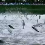【動画】中国、なんだコレ!吉林省の湖で魚の群れがぴょんぴょん飛び跳ねる珍現象! [海外]