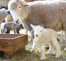 【画像】千葉の牧場で羊さんが赤ちゃんを出産 「フワフワ生まれたよ」とてもかわいい