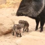 『ペッカリー:犠牲的精神を持つ気高い動物』の画像
