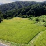 『秋近し! 棚田の稲も日々登熟してます』の画像