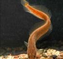 地下にすむ奇妙な魚、新種どころか新しい科だった、インド