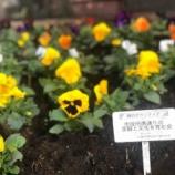 『戸田市・市役所南通りの花の植え替え。自分たちのまちはそこに住む自分たちが美しくする!寒い冬に道行く皆様の心の慰めになればとの想いと願いが込められています。』の画像