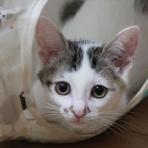 愛知発!保護猫の里親募集(ひげねこ会預かりっ子のブログ)