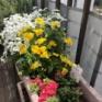 【ガーデニング】枯らし女王を返上なるか?お花がイキイキする季節になりました♪