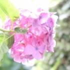 『Canon PowerShot G7X MarkⅡで撮る梅雨にしか見られない庭の美しい写真』の画像