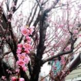 『手をかけて 人に知らせる 梅の花✿』の画像