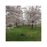 『舎人公園の桜』の画像