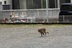 交野市で猿が出たみたい〜藤が尾のモリワキ近くから妙見坂付近で1匹の目撃情報〜