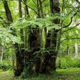『カツラの木:森の神様』の画像