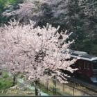 『平成最後の桜は阪急千里線で鉄ちゃん風に!』の画像