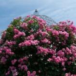 『α900で楽しむ、薔薇のマクロ撮り』の画像