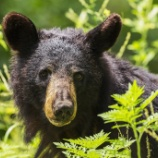 『兵庫県のクマ狩猟についての続報:コメントから』の画像