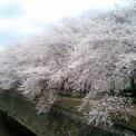 京都・天神川の桜