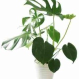 『観葉植物』の画像