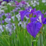 『【写真】 堀切菖蒲園 - 紫陽花(RX1)』の画像