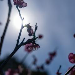 菅原天満宮と月ヶ瀬の梅(下見編)