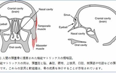 『機能的なマトリックス仮説を越えて  骨結合の形成のための人間の頭蓋骨の発達の  ネットワーク・ヌル・モデル』の画像