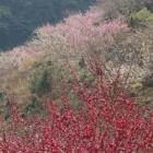 『梅林と菜の花』の画像