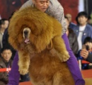 チベット犬バブル崩壊 かつては1匹2億円の値も 捨てられた大量の野犬により月平均180人の被害記録 中国北西部・青海省