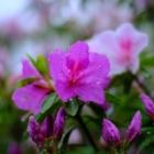 『KAMLAN50mmF1.1による雨上がりの花 2020/05/04』の画像