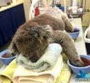 【画像】焼け出されたコアラ続々救助 豪の大規模森林火災