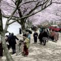 およそ100年前のお花見の写真をカラー化