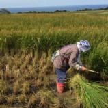 『佐渡産のお米』の画像