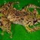 体の質感さえも変化させてしまう恐るべき能力を持つ新種のカエルが発見される(南米エクアドル)