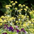 『美しい花と個性的な葉を持つ雑草と共存する庭【ハハコグサ・オニノゲシなど】』の画像
