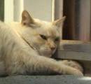 飼い猫が通りすがりの大型ピットブル7匹の集団を襲撃 犬は病院送りに