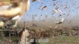 【蝗害】コロナ蔓延の中国に4000億のイナゴの大群が襲来へ