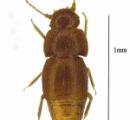 グレタ・トゥンベリさんの貢献に感銘を受けた科学者が同じ長いおさげを持つ新種の甲虫を彼女にちなんで名付ける