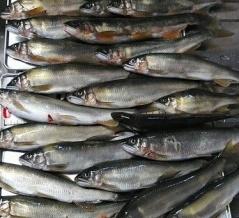 金魚型アユ
