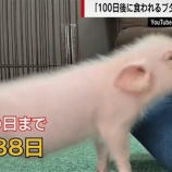 『100日後に食われる豚丸焼き動画が5chで炎上し海外の反応で批判殺到』の画像