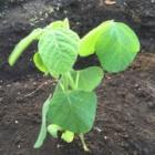 『枝豆』の画像