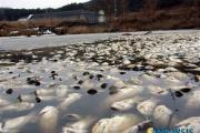 【韓国】 口蹄疫の牛埋めた場所に近い養殖場でナマズ数万匹が死亡