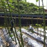 『島オクラの収穫が終わり、片づけをしました』の画像