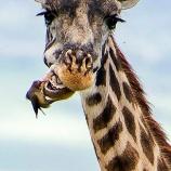 『共に生きる:大型動物の歯を綺麗にする鳥』の画像