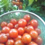『ミニトマト収穫!』の画像