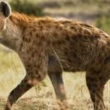 『ハイエナの4因は6割がライオンによる襲撃だった』の画像
