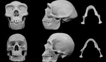 【古人類学】ヒトの顔は殴られたときのダメージを最小化するよう進化した?