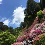 『2万株のツツジが咲く三室戸寺』の画像